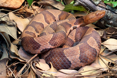 copperhead snake photo by Chuck Smith
