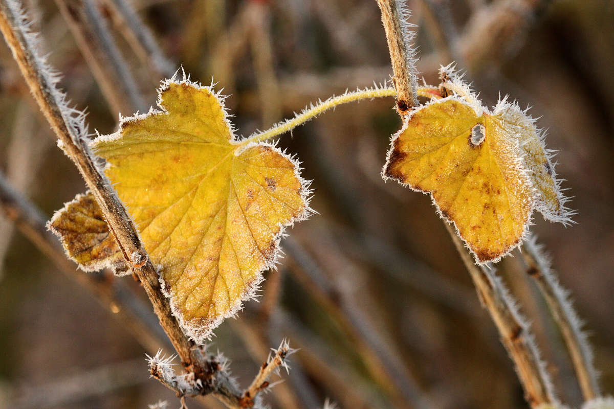 light frost on fall leaves