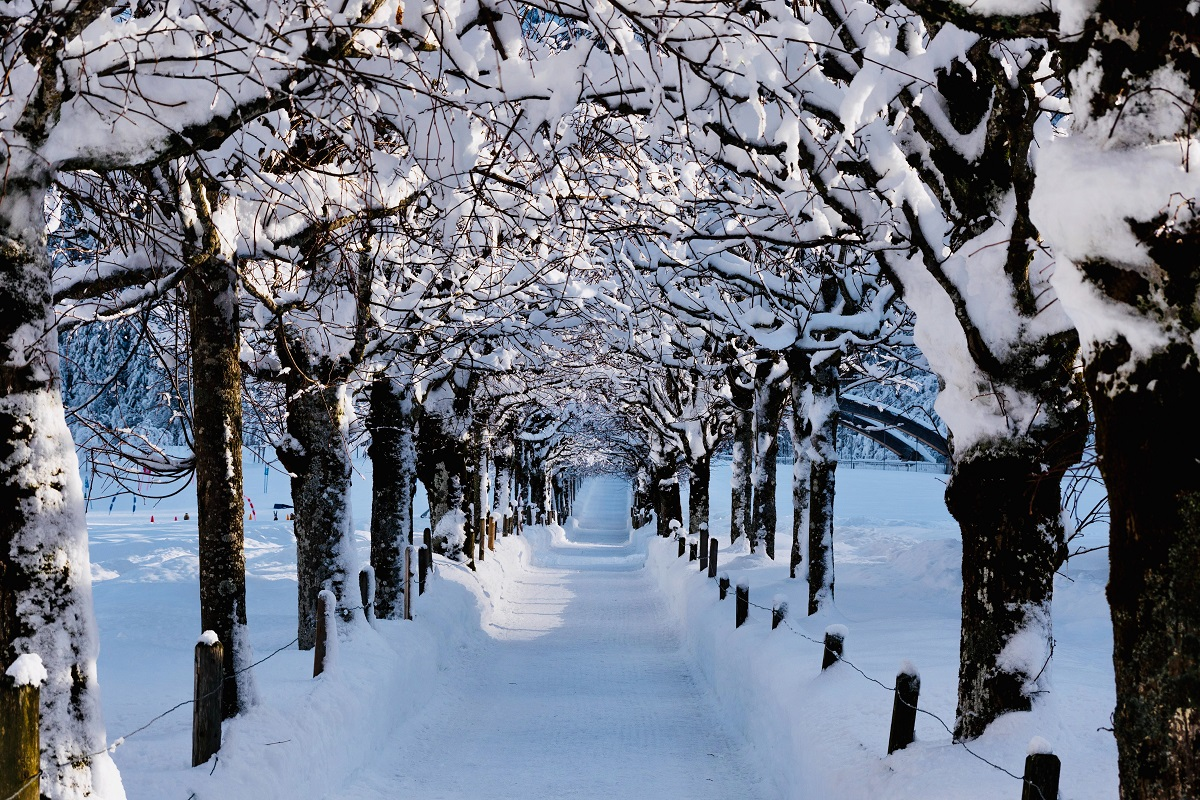 snow-covered trees hanging over a path