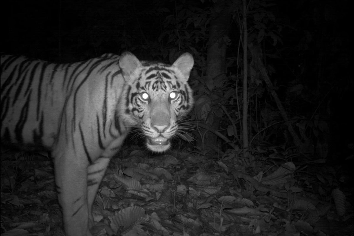 Sumatran tiger captured by camera trap