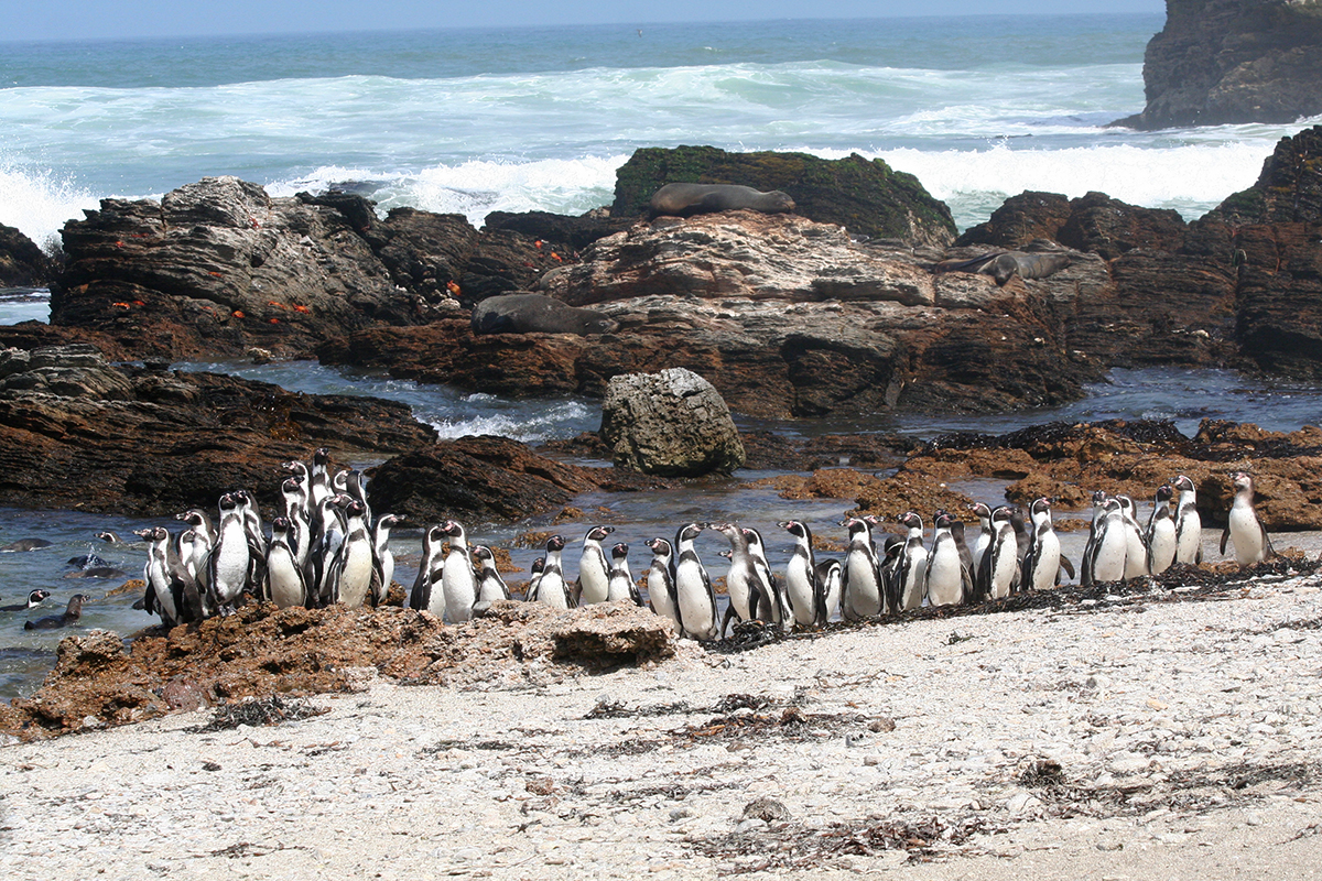 cluster of Humboldt penguins on the shoreline