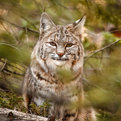 Researchers studied bobcat population in Wisconsin.