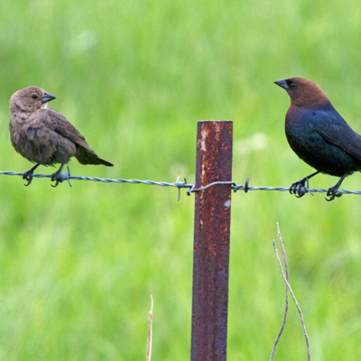 female cowbird and male cowbird perched on wire fence