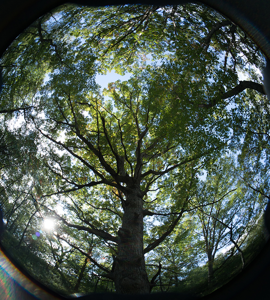 View of trees a tree and tree canopy looking up from the forest floor.