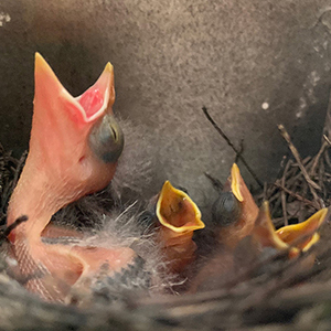 Four baby birds in a nest with mouths open, one is much larger than that others.