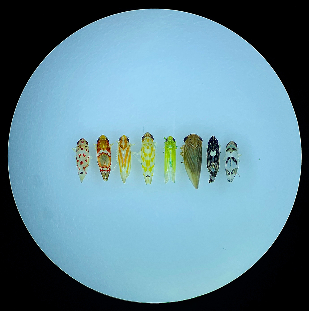Small colorful leafhopper bugs arranged in a line.